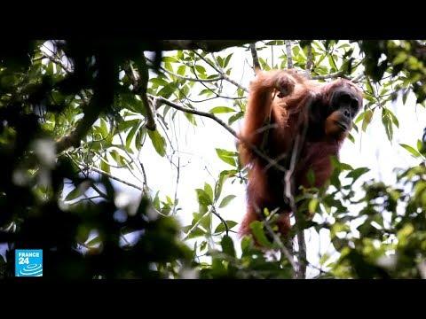 إندونيسيا: قرد التابانولي -إنسان الغاب- مهدد بالانقراض!!  - نشر قبل 2 ساعة