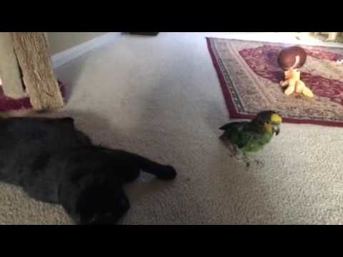 Amazon PARROT and Bombay Cat: Sunrise Sisters