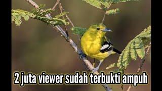 Suara pikat burung sertu 100% ampuh!!! Dan memancing sertu yg macet bunyi