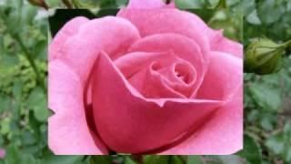 S.Adamo-QUAND LES ROSES.AVI
