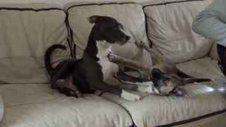 Two Staffordshire Bull Terrier Cross Huskies And A Staffy!