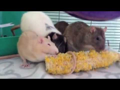 what-pet-rats-should-not-eat