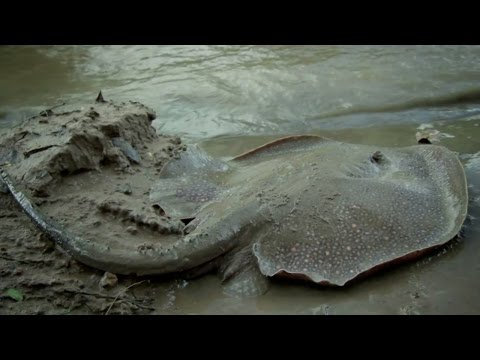 Catching A Freshwater Stingray In South America