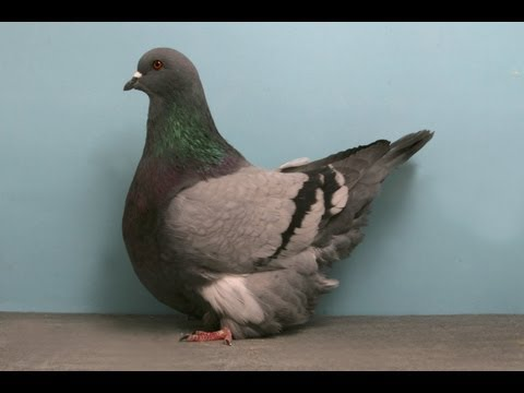 French Mondain  Fancy Pigeon