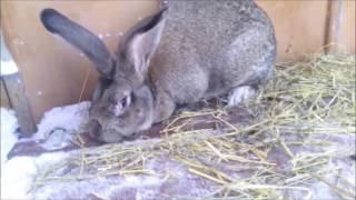 Кролики великаны(, 2017-01-16T13:21:30.000Z)