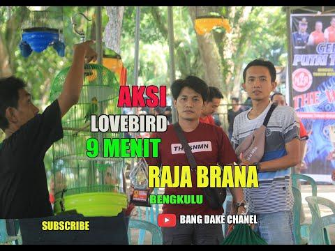 Viral 9 MENIT , Ini Aksi Lovebird RAJA BRANA (RB) di Gantangan