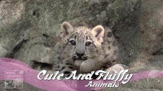 Snow leopard cubs make Bronx Zoo debut