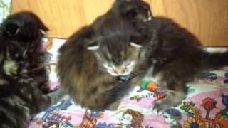 Котята мейн кун 2 недели
