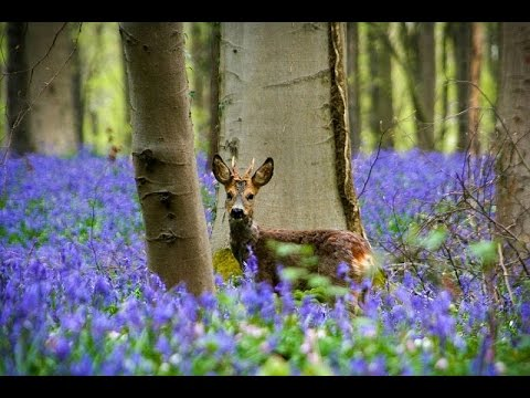 Hallerbos, blue forest in Belgium (Халлербос синий лес в Бельгии)