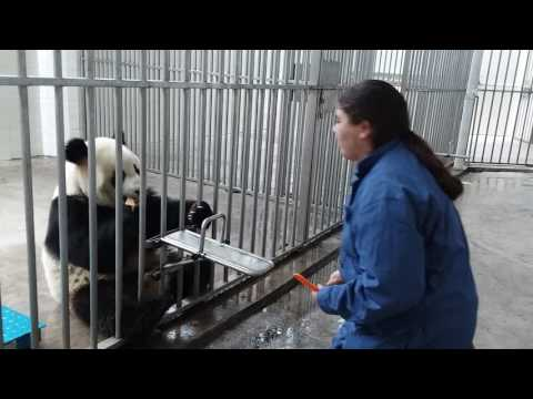 Getting to feed a Panda at the Wolong Panda Base in China!