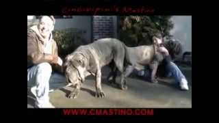 Breeding Huge Dogs - Neapolitan Mastiff Cinciripni's