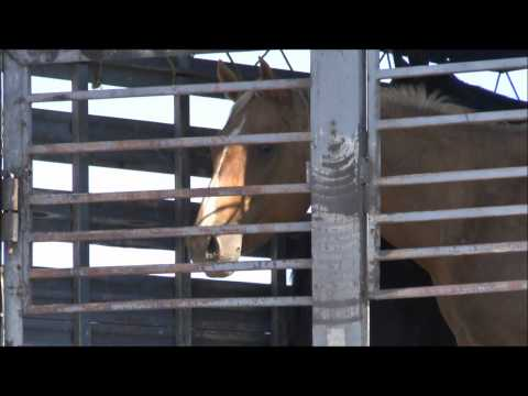 Investigation of Slaughter Horse Export in Eagle Pass, TX