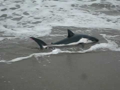 Beached Shark at Sunset State Beach California