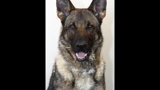 Archer: 2 Year Old German Shepherd Import With Level 1 Protection Training