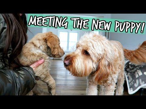 OUR GOLDENDOODLE MEETS NEW PUPPY FOR THE FIRST TIME!