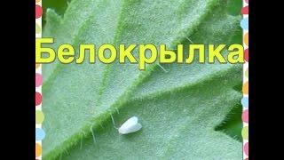 Белокрылка(, 2015-06-02T00:50:21.000Z)