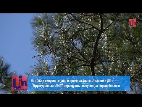 """Лісівники ДП""""БрустурянськеЛМГ"""" вирощують сосну кедра європейського"""