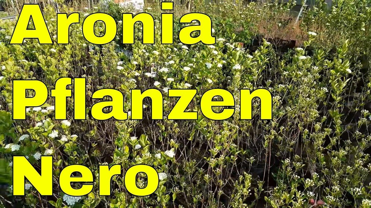 aronia pflanzen im garten aronia pflanzen nero ertragreichste und pflegeleichte aronia sorte. Black Bedroom Furniture Sets. Home Design Ideas