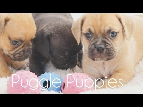 Puggle puppies playing with toys!!
