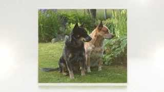 Australian Cattle Dog Training Tips
