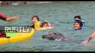اليابان وتقليد قتل الدلافين!