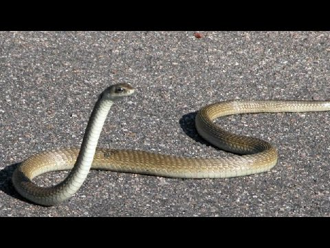 This Black Mamba Snake Can't Slither!