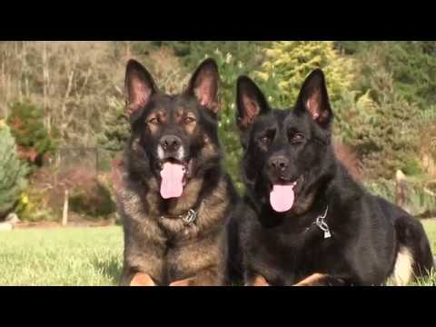 Kraftwerk K9 German Shepherd double fun! - YouTubeKraftwerk K9