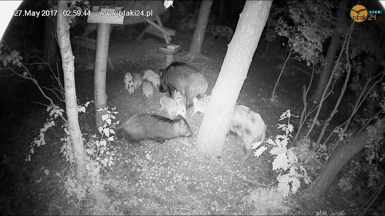 Dwie lochy z warchlakami w karmisku w lesie na Podkarpaciu - część 2