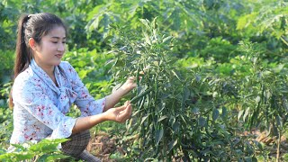 Harvest Green Chillies For Cooking  Stir Fry Green Chillies With Octopus  By Countryside Life TV.