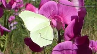 Brimstone butterfly - Gonepteryx rhamni  - Fiðrildi - Karlfiðrildi -  Skordýr