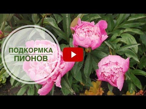 Пионы в саду➡ Как, чем и когда подкормить? 🌺 Красивый сад и огород с hitsadTV