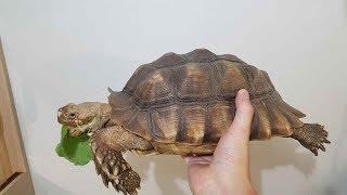 설가타 육지거북이의 미친 먹성(Tortoise eati…