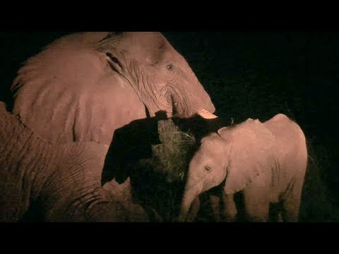 Baby Elephant Tries To Help Dying Mother  - This Wild Life  - BBC Earth
