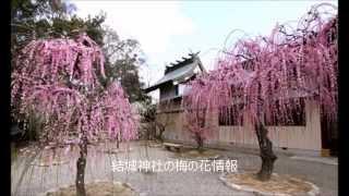 結城神社の梅の見頃、梅まつり時期や開花写真について