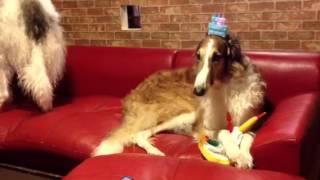 ブッチ4歳になりました♪ 誕生日を忘れてて、、、ちょっと怒ってる?! ...