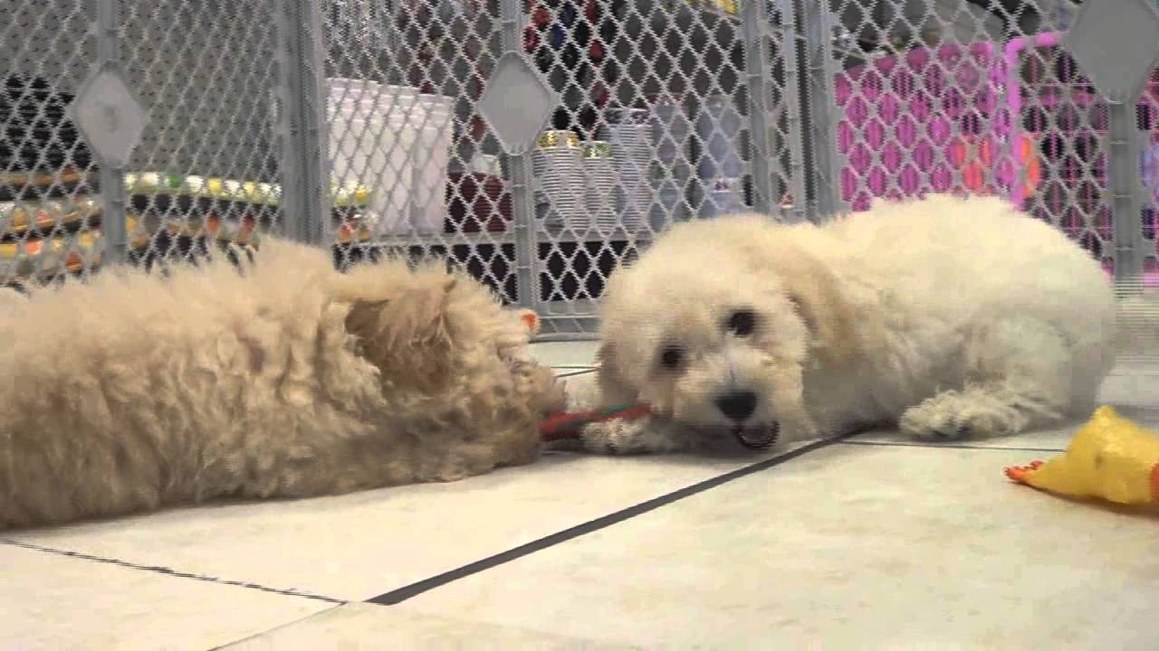 Bichon Poo, Puppies, For, Sale, In, Indianapolis, Indiana