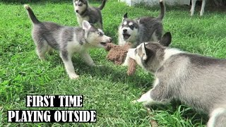 5 SIBERIAN HUSKY PUPPIES PLAYING OUTSIDE FOR THIS FIRST TIME WITH MOM & DAD | 8 WEEKS OLD