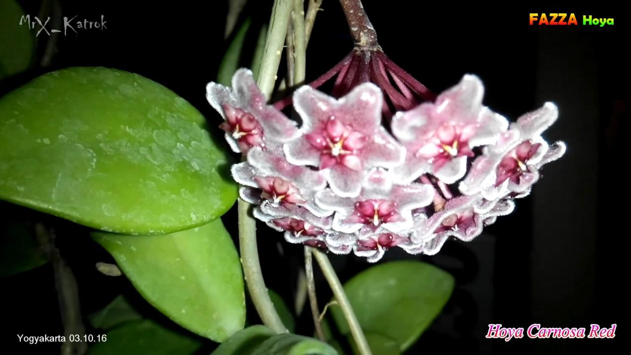 Hoya Carnosa Red Fazza Nursery Hoyaindonesia 031016