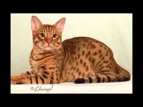 Оцикет (Ocicat) породы кошек( Slide show)!