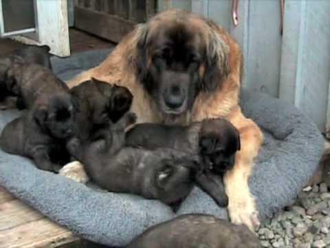 BoBevs Leonberger Puppies Q litter week 4