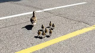 Mother duck and seven ducklings crossing a road