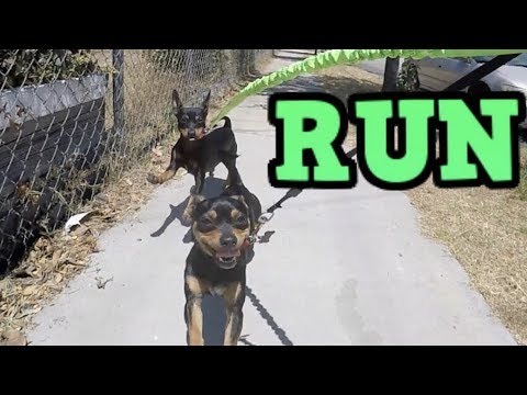 Luna and Rocky's Run! - ChiPin (Chihuahua/Miniature Pinscher) Dogs
