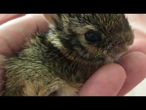 BABY COTTONTAIL BUNNY RESCUED FROM BEAGLE | NEWBORN TO 3 WEEKS OLD