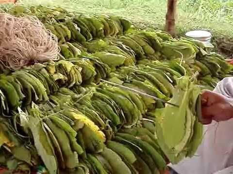 Oriental Tobacco (Turkey Tobacco) leaves stitching by a Farmer