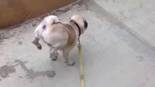 Собака-акробат ходит на передних лапах и писает на площадку
