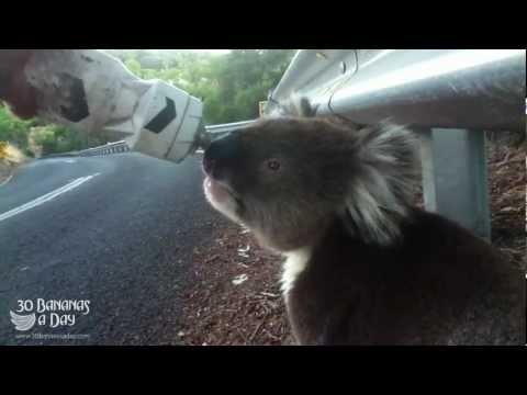 Thirsty Koala Meets Cyclist