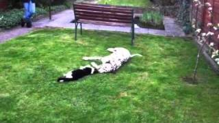 Dalmatian And Cat Playing