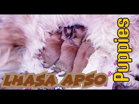 lhasa dog | Lhasa Apso Mother and new born Puppies