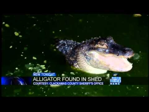 'Wally' the alligator recovered from Clackamas County shed