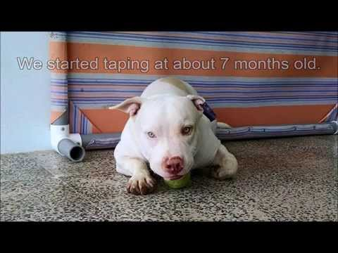 Ear taping tutorial (natural ears) (Am Bully, Pit bull, Am Staff)